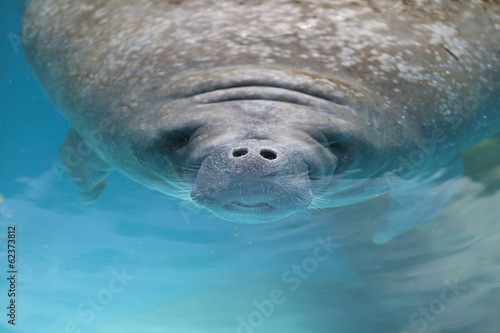 West indian manatee swimming near the surface of water