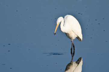 Great Egret With Caught Insect