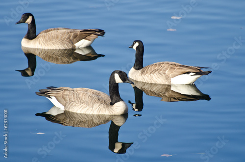 Three Canada Geese Swimming in Autumn Lake