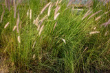 foxtail grass under the sunshine in summer