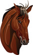 head thoroughbred horse breed