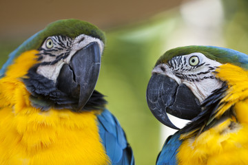 Portrait of a Blue-and-yellow Macaw (Ara ararauna)