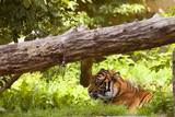 Tiger resting in a clearing