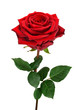 canvas print picture - Aufgeblühte rote Rose