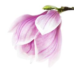 Magnolienblüte auf weiß