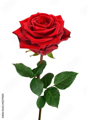 Deurstickers Roses Aufgeblühte rote Rose