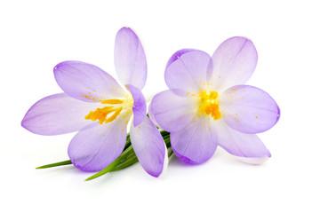 crocus - spring flowers