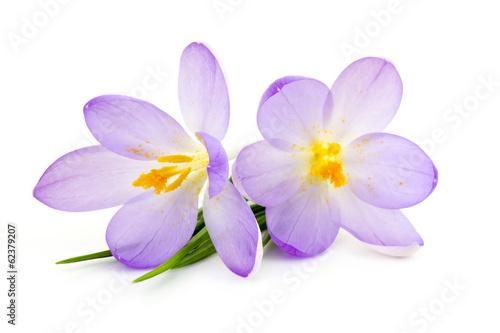 Fotobehang Krokus crocus - spring flowers