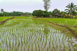 landscape with young rice field in thailand country
