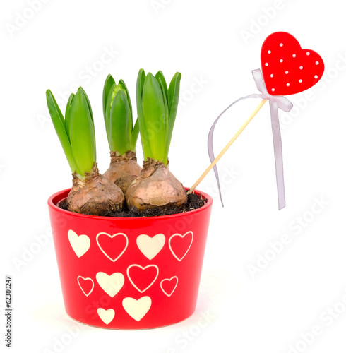 Hyacinth flower like a romantic gift