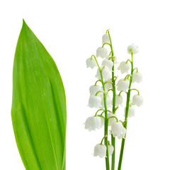 flowers and leaves of lilly of the valley