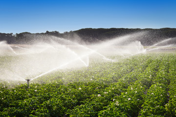 Irrigation in Field of growing potatoes
