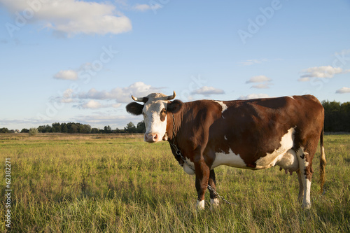 brown cow in a pasture at sunset