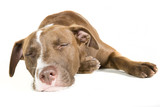 Sleeping Dog Isolated on White