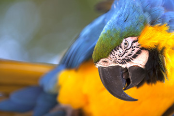 Portrait of a Blue-and-yellow Macaw (Ara ararauna)