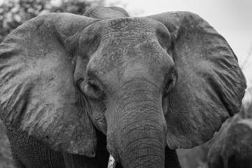 wütender Elefant, Chobe Park Botswana