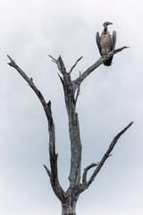 Aasgeier im Chobe Park, Botswana