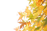 Autumn maple tree selective focus background