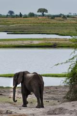 Elefant, Chobe Park Botswana
