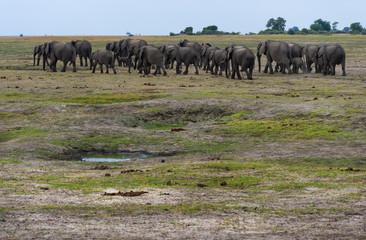 Elefantenherde , Chobe Park Botswana