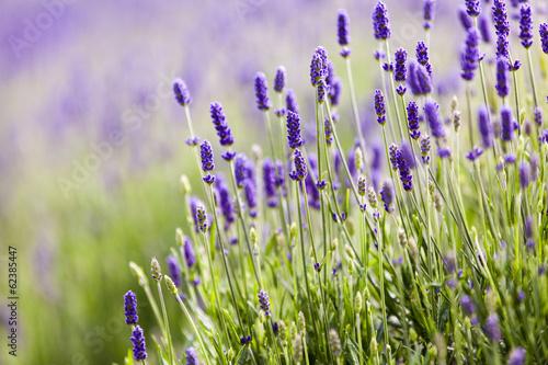 In de dag Lavendel Lavendar closeup