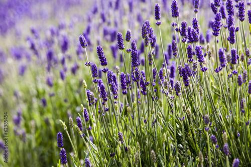 Foto op Aluminium Lavendel Lavendar closeup 2