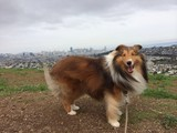 sheltie smile on a hill