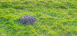 Freshly digged molehill in grass