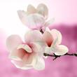 Obrazy na płótnie, fototapety, zdjęcia, fotoobrazy drukowane : magnolia