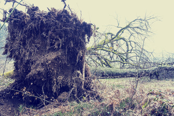 Root system of a tree felled in a storm