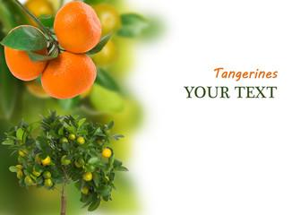 Branch of ripe tangerine on white background