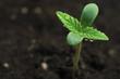 marijuana seeding - 62388841