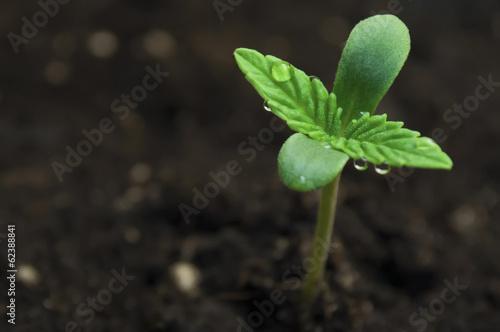 Plexiglas Planten marijuana seeding