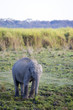 Baby asian elephant calve in Kaziranga national park