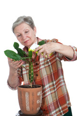 Elderly woman sprinkles flower