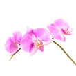Pink orchid flowers group isolated on white background