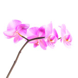 Pink orchid flowers group isolated on white