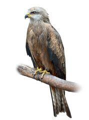 Black Kite on White Background
