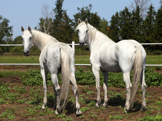 Two orlov trotter mares