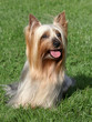 Portrait of Australian Silky Terrier in a summer garden