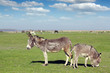 donkeys and farm animals on pasture