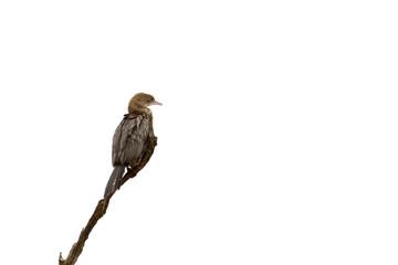 Pygmy Cormorant Isolated