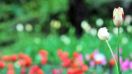 Beautiful tulip with bokeh