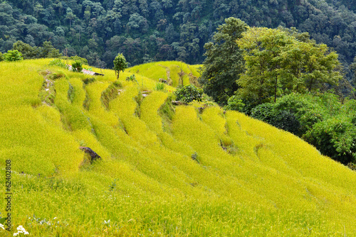 Rice field ready for harvesting in Nepal
