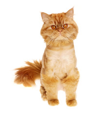 beautiful cute little persian cat