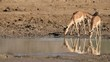 Impala antelopes drinking water, Pilanesberg National Park,