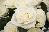 Fototapety White rose closeup