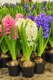 Colorful fresh hyacinth flowers