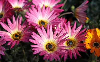pink gerberas just flowing