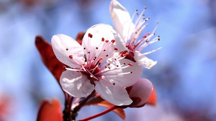 Beautiful plum flowers